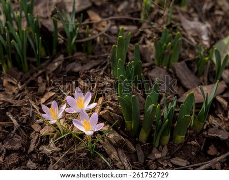 Crocus flowers start to bloom as spring begins and they show signs of life by daffodil stems and shoots - stock photo