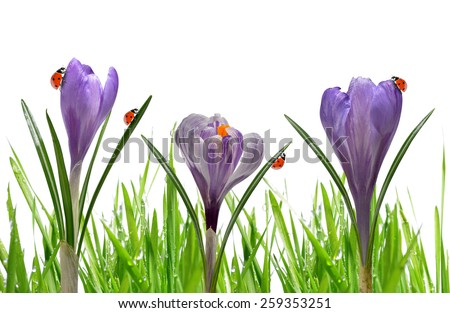 Crocus flowers with dewy green grass and ladybirds on white background - stock photo