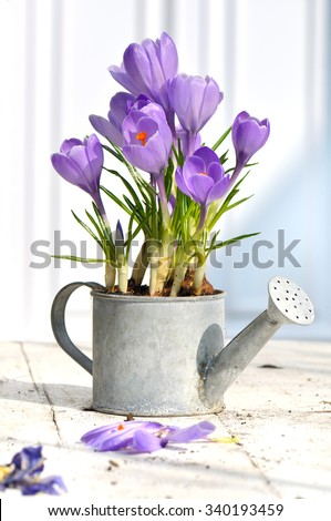 crocus in a decorative pot on white table in terrace