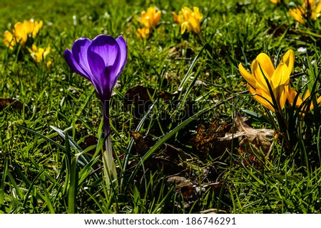 Crocus in bloom. Yellow, Purple and green, Webster County, West Virginia, USA  - stock photo
