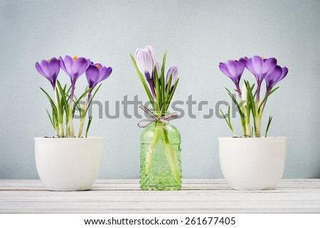 Crocus in vases with ribbon on blue background  - stock photo