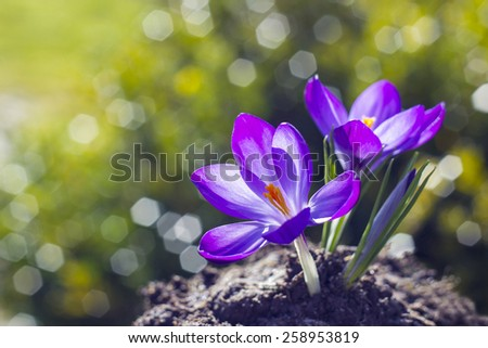 crocus - one of the first spring flowers - stock photo