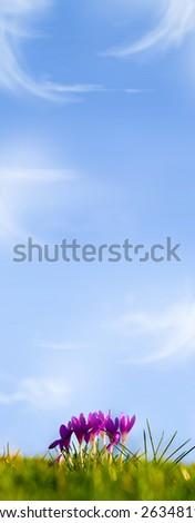 Crocus Purple against deep blue sky - stock photo
