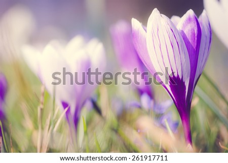 Crocus Saffron Flower in Spring with a retro vintage instagram filter effect - stock photo