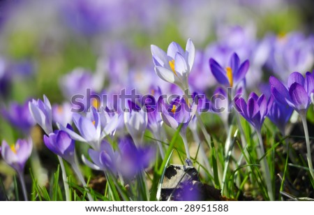 Crocus - Spring Flower - stock photo