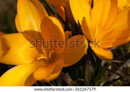 Crocus yellow - stock photo