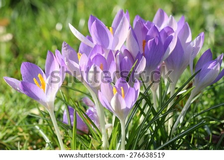 Crocuses / A group of crocuses in the grass. - stock photo