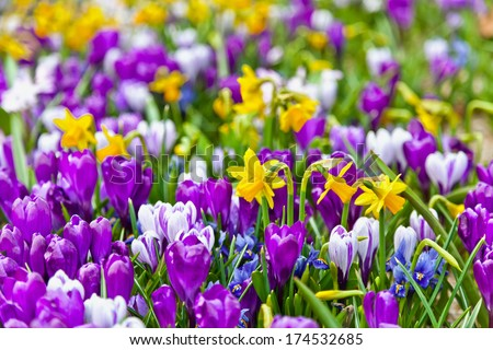 Crocuses and narcissus in the park. Spring landscape. - stock photo