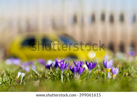 crocuses in grass in spring in city park with building and car in blurred background - stock photo