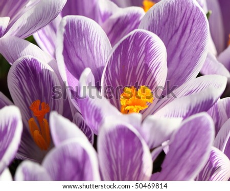 Crocuses in springtime concept of hope and renewal - stock photo
