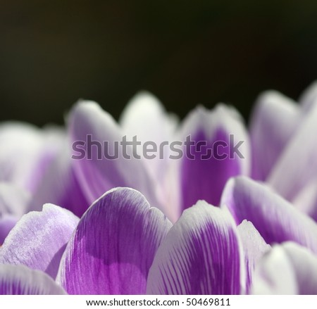 Crocuses in springtime with dark background concept of hope and renewal - stock photo