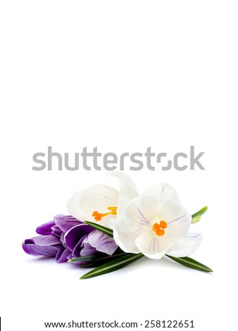 Crocuses on a white background - stock photo