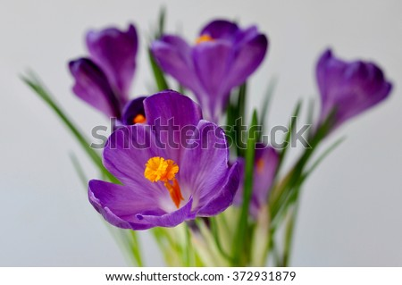 crocuses spring flowers - stock photo