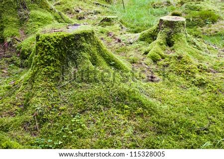 Crone wood, Irish forest - stock photo