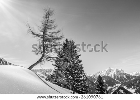 crooked tree in snow landscape in black and white - stock photo