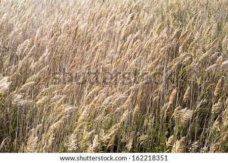 Crop blowing in wind - stock photo