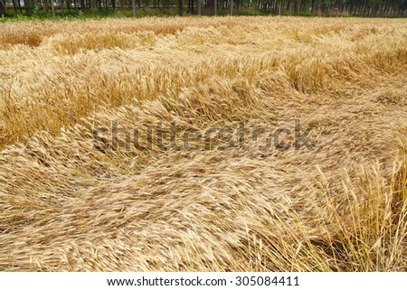 Crop disaster - stock photo