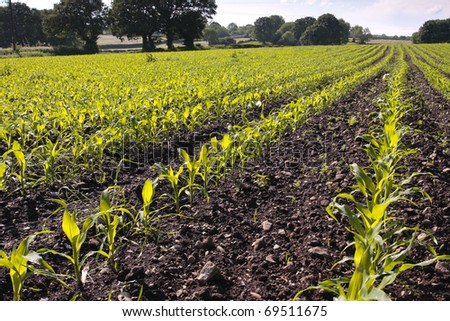 Crop field with corn seedlings in early spring - stock photo