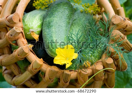Crop of cucumbers in a basket - stock photo
