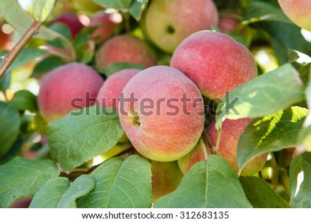 Crop of fresh, juicy apples - stock photo