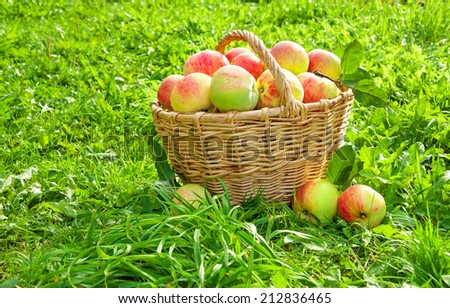 crop of red juicy apples in a baskets