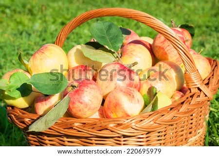 crop of red juicy apples in basket,thanksgiving holiday