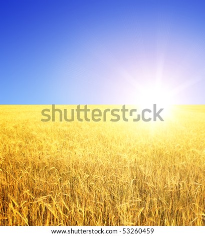 Crop of rye - golden cereal and sun - stock photo