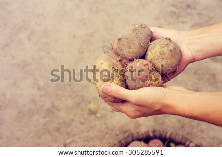 Crop of young potatoes. Fresh young potatoes in the woman's hands - stock photo