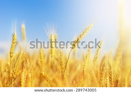 Cropped image of a wheat crop with the sky blurred in the background - stock photo