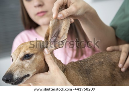 Cropped Image Vet Examining Dachshund's Ear By Girl
