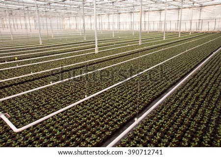 Crops in a large scale Nursery Greenhouse in the Netherlands - stock photo