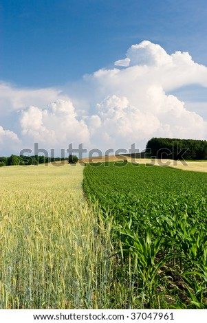 Crops in the Field with Clouds - stock photo