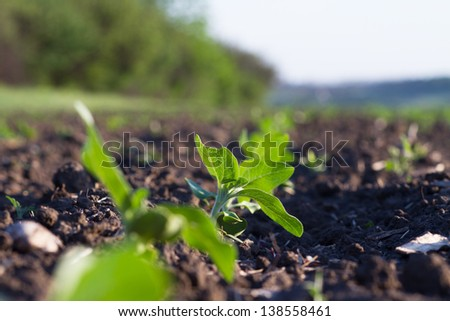 Crops planted in rich soil get ripe under the sun fast - stock photo