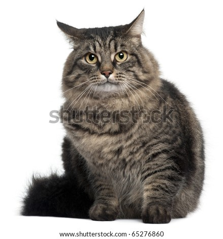 Cross Breed Cat sitting in front of white background - stock photo