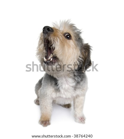 Cross Breed dog barking, 4 years old, in front of white background, studio shot - stock photo