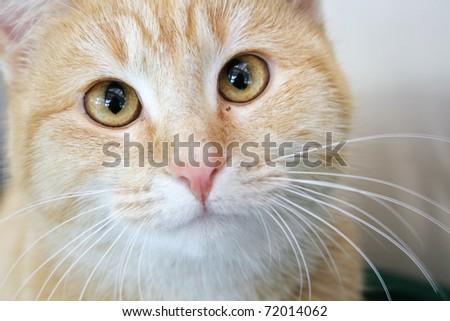 Cross eyed ginger tabby cat - stock photo