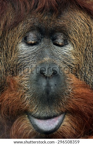 Cross hybrid of the Sumatran orangutan (Pongo abelii) and the Bornean orangutan (Pongo pygmaeus). Wildlife animal.  - stock photo