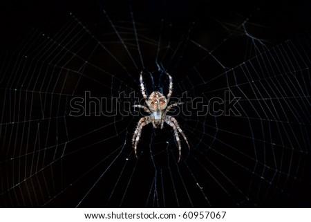 Cross or European spider (Araneus diadematus) in its web - stock photo