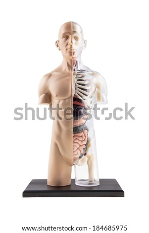 Cross-Section Diagram Of Human Body - Bones and Organs - stock photo