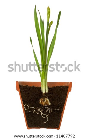 Cross section of a spring bulb with it's roots showing in a terracotta pot, isolated on a white background. - stock photo