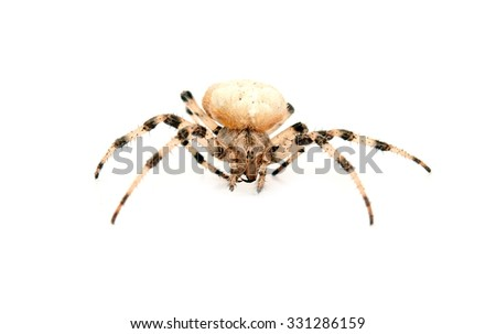 cross spider isolated on white - stock photo