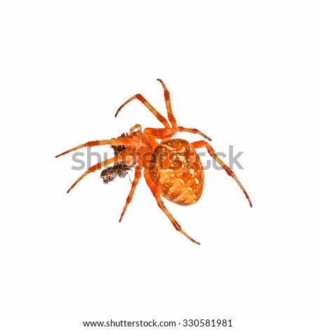 Cross spider isolated on white background - stock photo