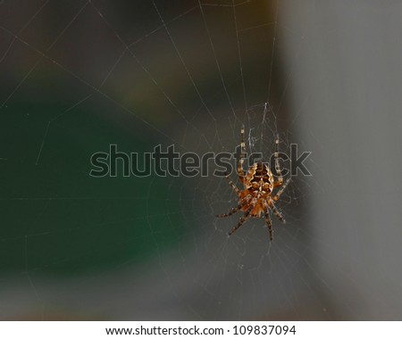 Cross tee spider Araneus diadematus in his web is waiting for the victim