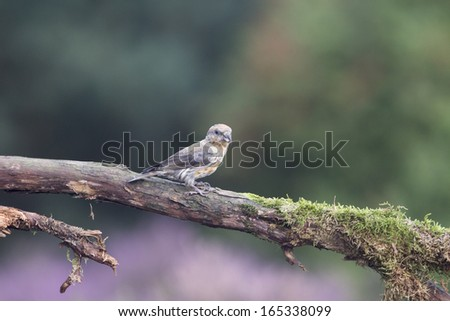 Crossbill On A Mossy Branch Against A Green Forest Background