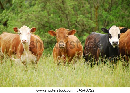 crossbred cattle in a wet field - stock photo