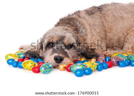 Crossbreed amidst chocolate Easter eggs, isolated on white - stock photo