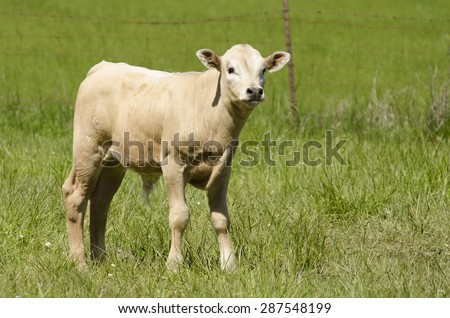 Crossbreed calf from a Corriente cow mom and a Charolais bull dad feeds in the pasture - stock photo
