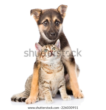 crossbreed dog and small tabby cat. isolated on white background - stock photo