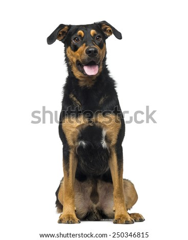 Crossbreed dog (18 months old) - stock photo