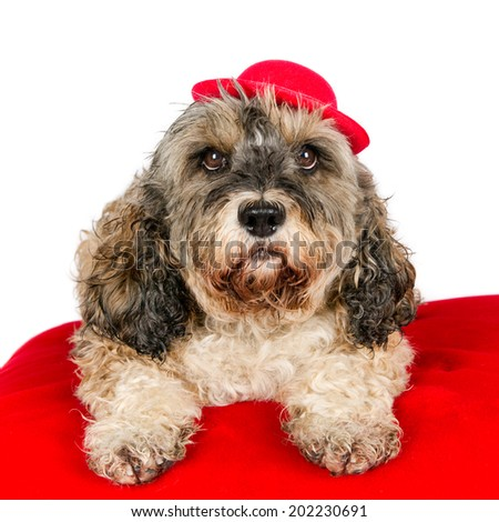 Crossbreed dog on a red pillow wearing a red cap, against a white background.